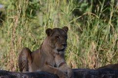 Animales en el jardín de Busch Fotografía de archivo