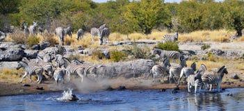 Animales en el parque nacional de Etosha Imágenes de archivo libres de regalías