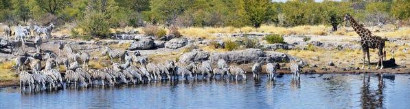 Animales en el parque nacional de Etosha Imagenes de archivo