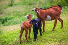Animales en la isla de Gili Trawangan, Indonesia fotografía de archivo libre de regalías