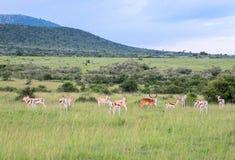 Animales en Maasai Mara, Kenia Imagen de archivo libre de regalías