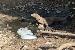 Animales en peligro que son komodo protegido fotografía de archivo libre de regalías