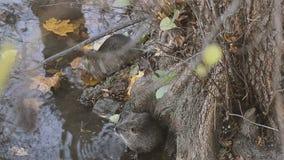 Animales europeos del castor almacen de video