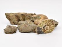 Animales fósiles dispuestos en el fondo blanco imagen de archivo libre de regalías
