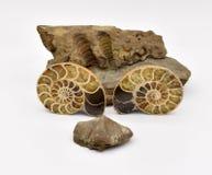 Animales fósiles dispuestos en el fondo blanco fotografía de archivo libre de regalías