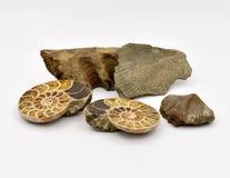 Animales fósiles dispuestos en el fondo blanco imagen de archivo