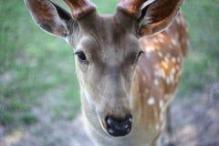 Animales - fondo del verde del cervus de los ciervos del sika del retrato Fotografía de archivo libre de regalías