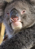 Animales - Koala Imagenes de archivo