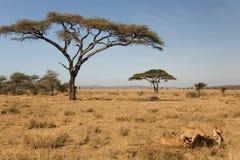 Animales, león Imagenes de archivo