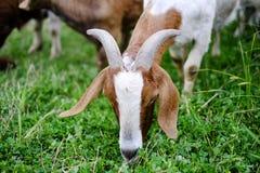 Animales: pasto de multitudes Foto de archivo