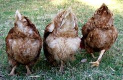 Animales - pollos Fotos de archivo