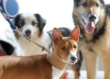 Animales preciosos en la exposición canina imagen de archivo libre de regalías