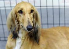 Animales preciosos en la exposición canina fotografía de archivo