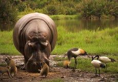 Animales que introducen Fotos de archivo