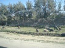 Animales que pastan en Afganistán imagenes de archivo
