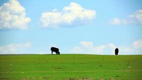 Animales que pastan en el prado, Mongolia almacen de video