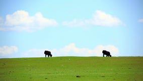 Animales que pastan en el prado, Mongolia almacen de metraje de vídeo