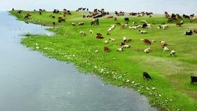 Animales que pastan en la orilla del río almacen de video