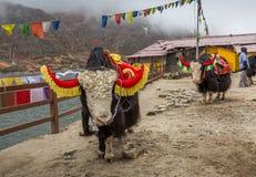 Animales salvajes de los yacs usados para el paseo turístico cerca del lago Tsomgo Changu, Sikkim del este la India Imagen de archivo