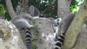 Animales salvajes del lémur en árbol almacen de metraje de vídeo