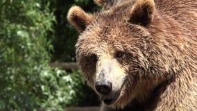 Animales salvajes del oso de Brown metrajes