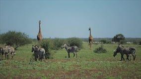 Animales salvajes en naturaleza Las cebras y las jirafas caminan a través del campo en día de verano caliente en África almacen de video
