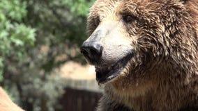 Animales salvajes grandes del oso de Brown almacen de metraje de vídeo