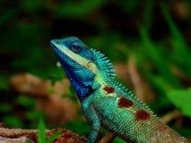 Animales tailandeses - camaleón en árbol Fotos de archivo libres de regalías