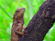 Animales tailandeses - camaleón en árbol Foto de archivo libre de regalías