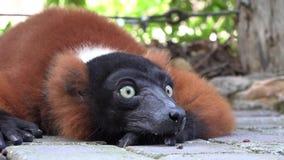 Animales y fauna de los lémures almacen de metraje de vídeo