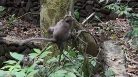 Animales y mono adultos del bebé en enredaderas de la selva tropical en Bali almacen de video