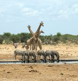 Animali ad un waterhole nel parco nazionale di Etosha, Namibia Fotografie Stock