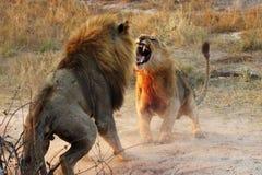Animali che combattono, appena vita selvaggia di vist fotografia stock libera da diritti
