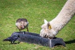 Animali che mangiano insieme Immagini Stock Libere da Diritti