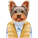 Animali come essere umano L'Yorkshire terrier in giù conferisce a e maglione Immagine Stock Libera da Diritti