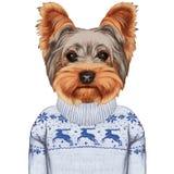 Animali come essere umano Terrier di Yorkshire in maglione Immagine Stock Libera da Diritti