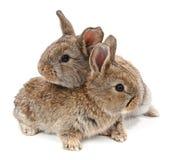 animali Coniglio isolato su un fondo bianco Fotografia Stock Libera da Diritti