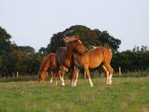 Animali d'un anno del punzone della Suffolk Immagini Stock