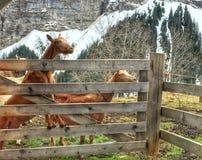 Animali da allevamento che si impennano intorno Fotografia Stock