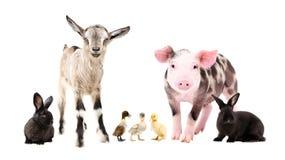 Animali da allevamento che stanno insieme fotografie stock libere da diritti