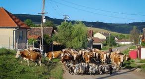 Animali da allevamento che vanno pascolare nella formazione fotografie stock libere da diritti