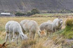Animali da allevamento delle Ande che mangiano pascolo Immagine Stock