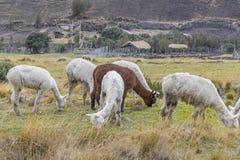 Animali da allevamento delle Ande che mangiano pascolo Immagini Stock Libere da Diritti