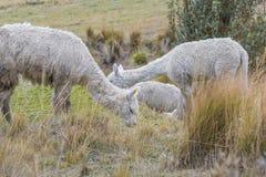 Animali da allevamento delle Ande che mangiano pascolo Fotografia Stock