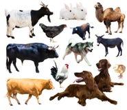 Animali da allevamento Isolato sopra fondo bianco Immagine Stock