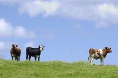 Animali da allevamento - mucche fotografie stock
