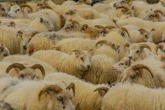 Animali da allevamento - pecore Fotografia Stock