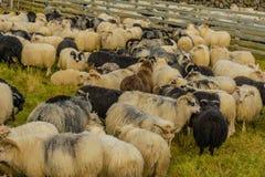 Animali da allevamento - pecore Immagini Stock
