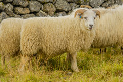 Animali da allevamento - pecore Fotografia Stock Libera da Diritti