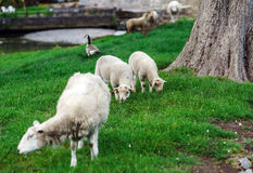 Animali da allevamento Pecore di Depasturing Immagine Stock